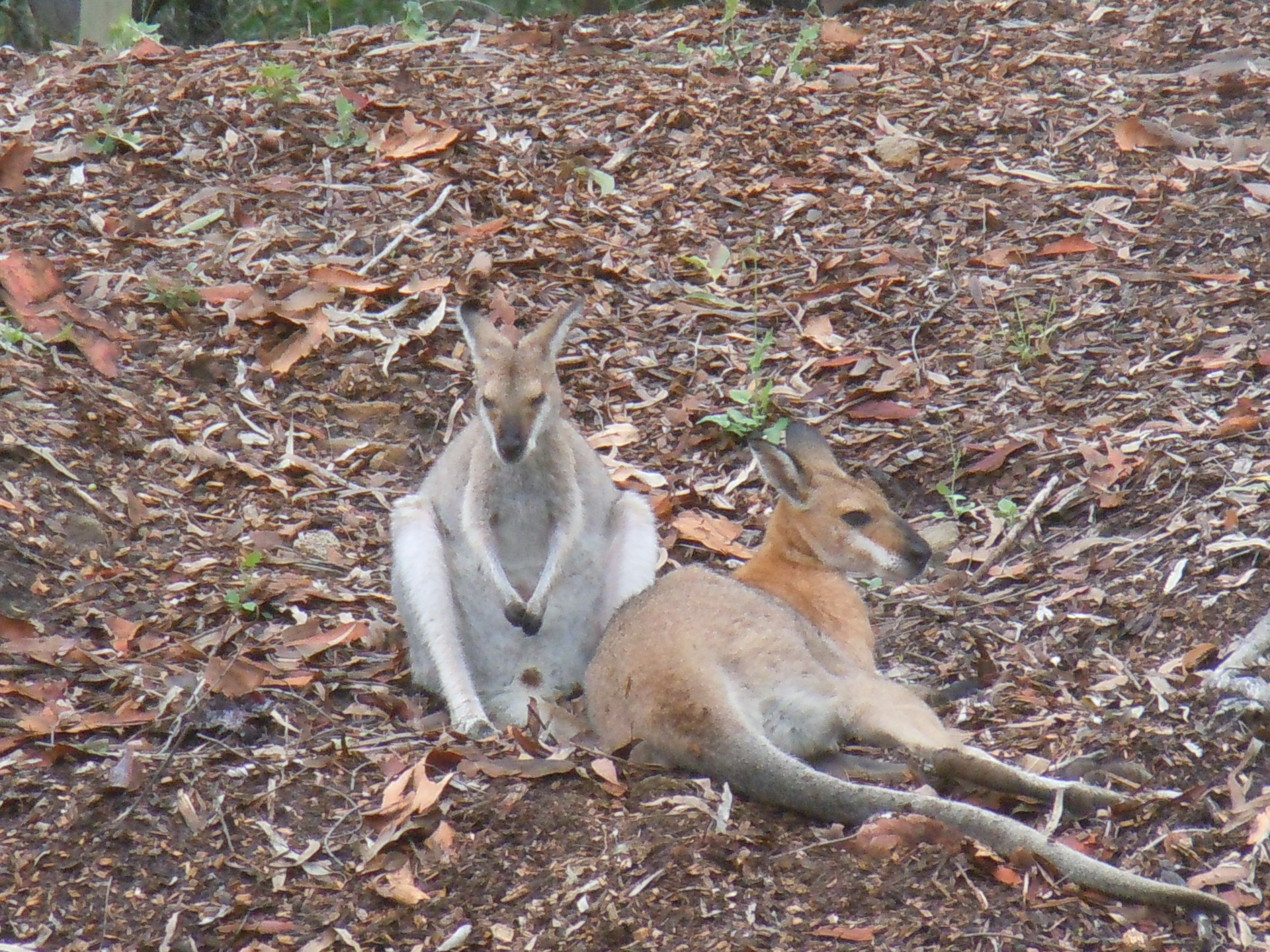 Mum & Dad Wallabies